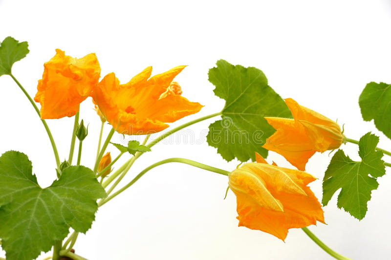 Flor y hojas de la calabaza aisladas en blanco fotografía de archivo libre de regalías