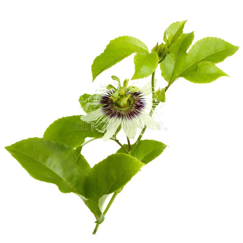 Flor y hojas de la fruta de pasión aisladas en blanco fotos de archivo libres de regalías