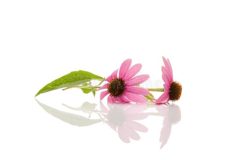 Flor y hojas del Echinacea en blanco imagen de archivo libre de regalías