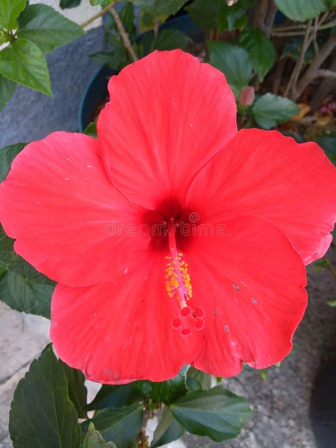 Flor y hojas rojas del hibisco imagen de archivo libre de regalías