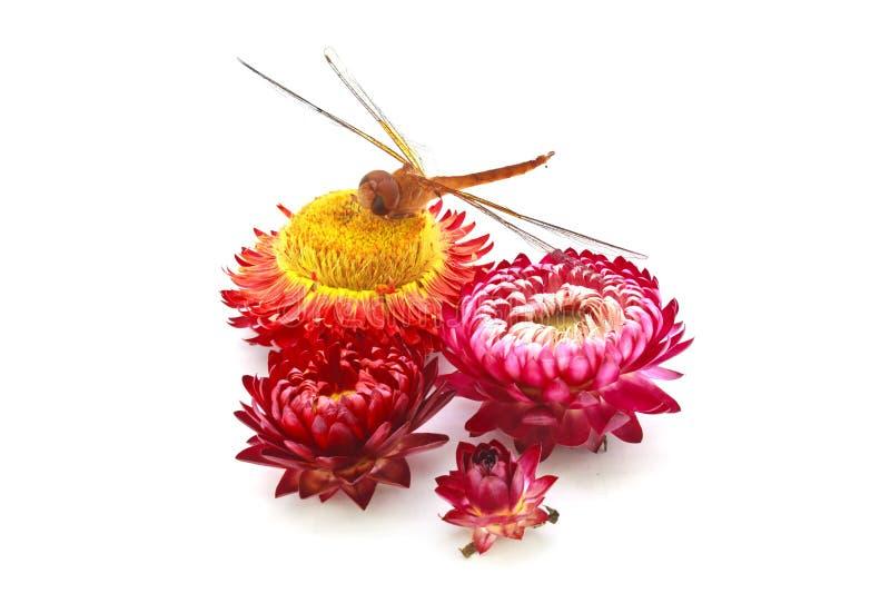 Flor y libélula de la paja imagen de archivo