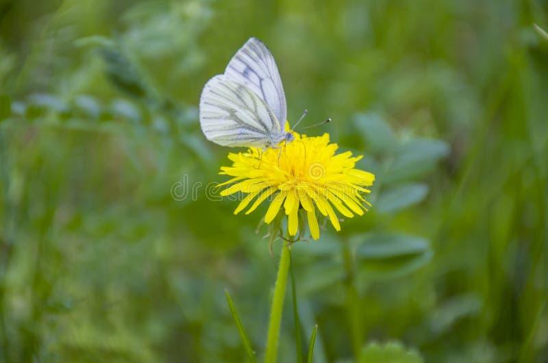 Flor y mariposa amarillas de la hierba del diente de león en Rusia fotos de archivo