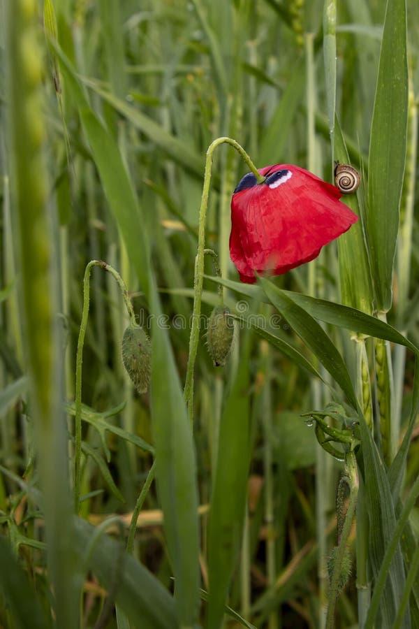 Flor y troncos con los brotes de amapolas rojas Caracol en una hoja del trigo Rocío foto de archivo libre de regalías