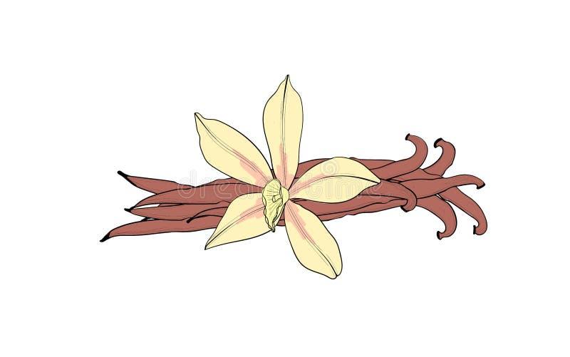 Flor y vaina de la vainilla Una especia aislada Condimentaci?n de la vainilla libre illustration