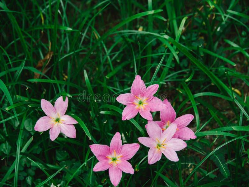 Flor Zephyranthes del rosa del foco selectivo grandiflora fotografía de archivo