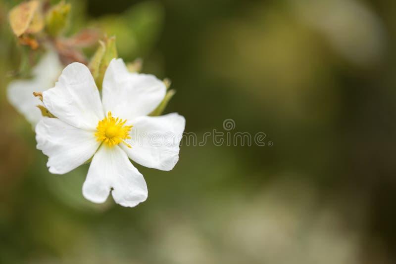 Flora av den Gran Canaria - Montpellier cistusen royaltyfri fotografi