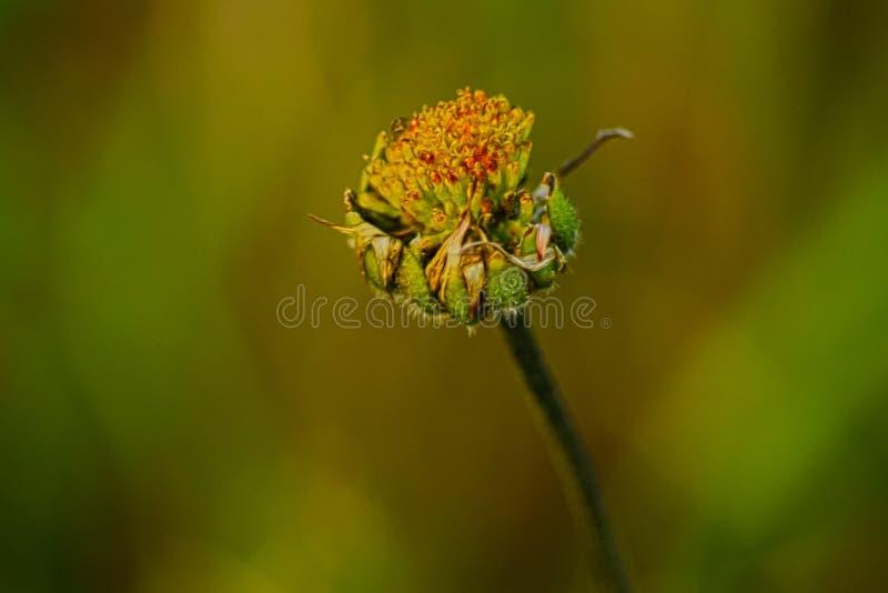 Flora av den medelhavs- fläcksalentinaen arkivfoton