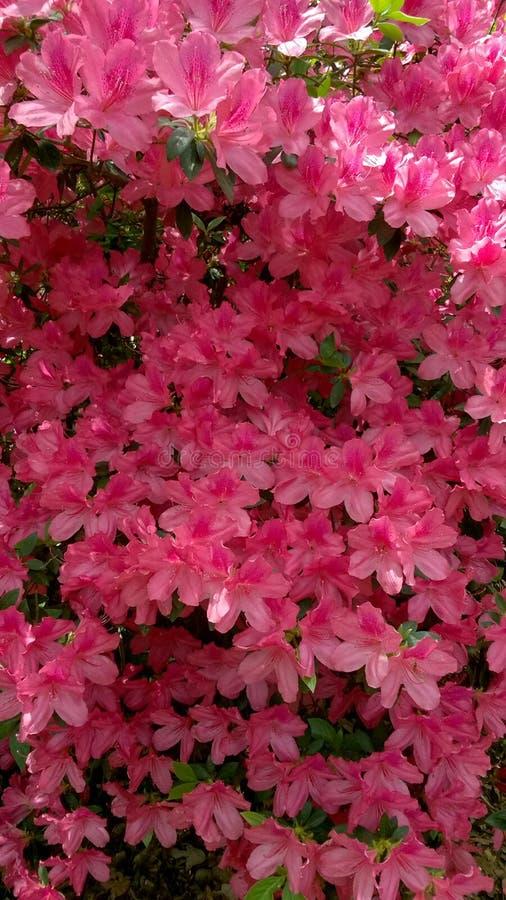 Flora in Azalea 001 Oost- van Texas 2019 stock fotografie
