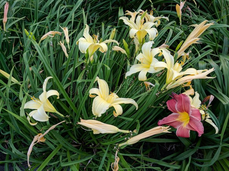 Yellow and Red Iris Flowers. Flora background image royalty free stock photography