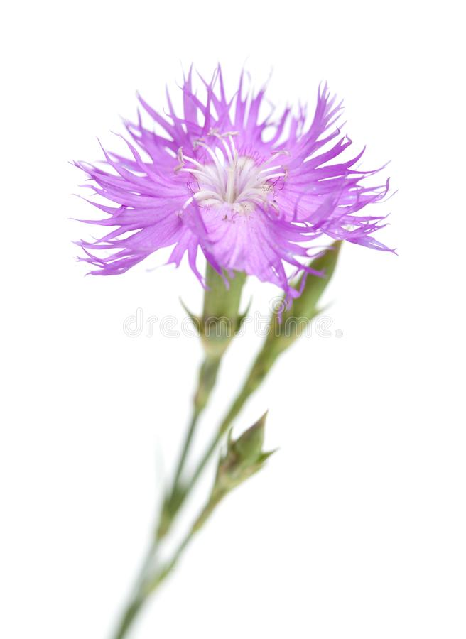 Flora of Cantabria - Dianthus hyssopifolius. Hyssop-leaved carnation stock image