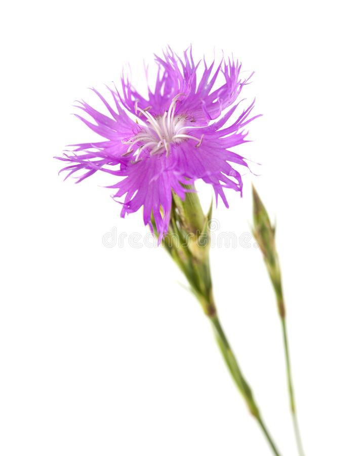 Flora of Cantabria - Dianthus hyssopifolius. Hyssop-leaved carnation royalty free stock images