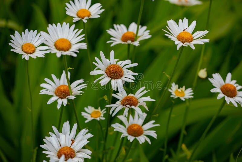 Flora Collection Group White Orange Shasta Daisy Daisies royaltyfri fotografi