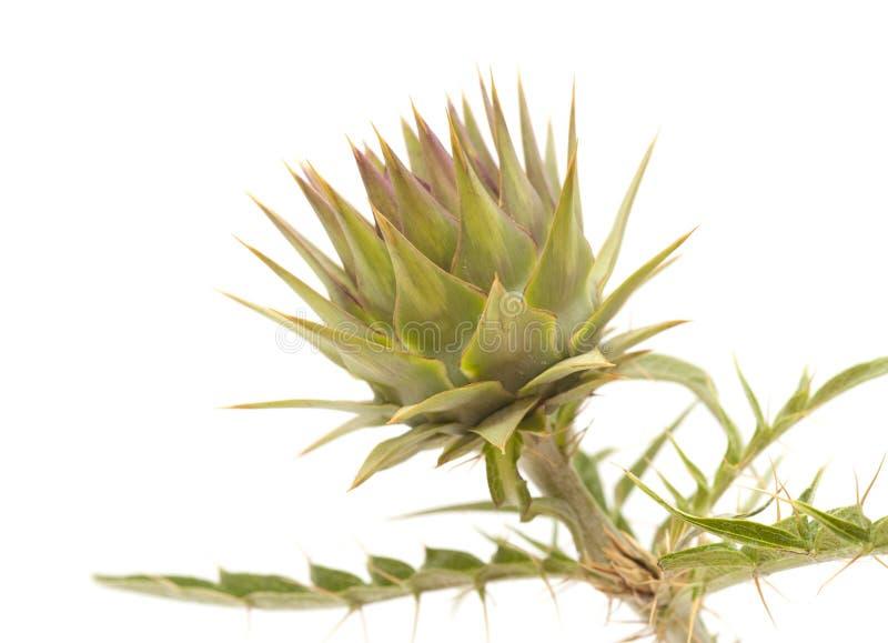 Flora de Gran Canaria - alcachofra foto de stock