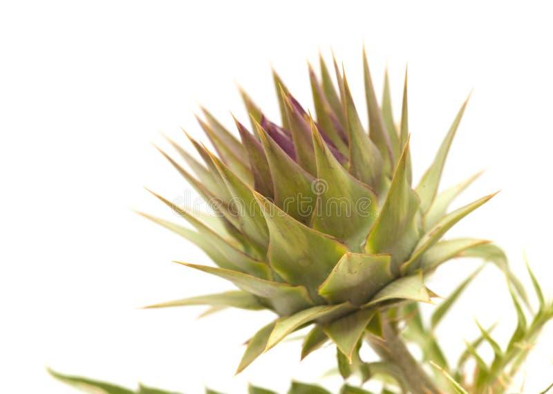 Flora de Gran Canaria - alcachofra imagem de stock