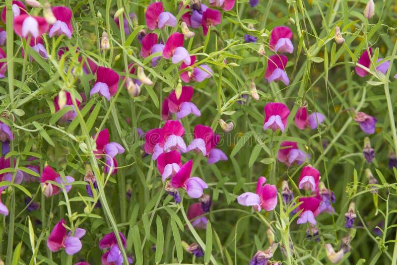 Flora de Gran Canaria - clymenum do Lathyrus; Vetchling espanhol imagens de stock