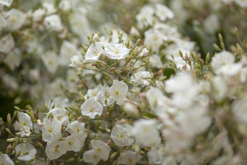 Flora de Gran Canaria - floridus do convólvulo imagem de stock