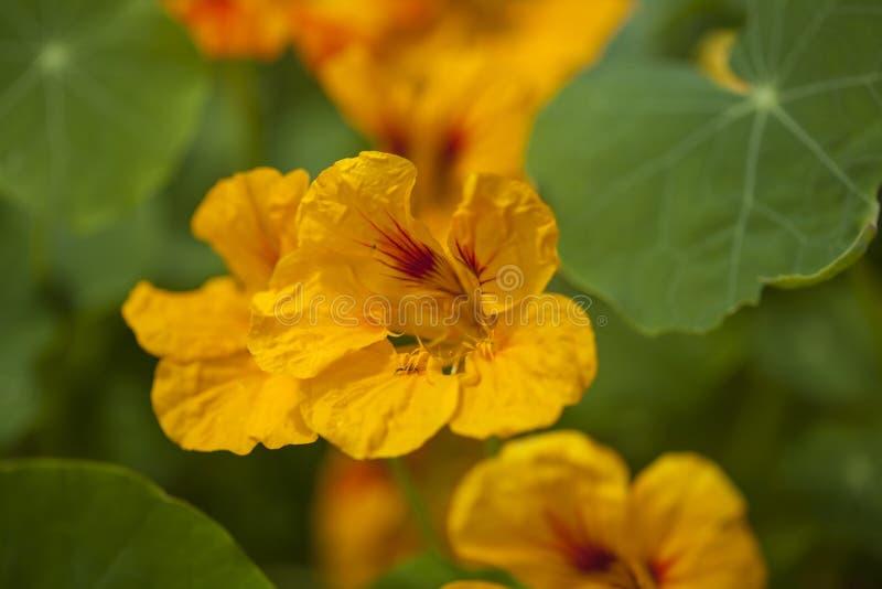 Flora de Gran Canaria - majus do tropéolo foto de stock royalty free
