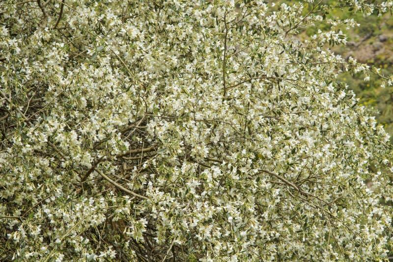 Flora de Gran Canaria - proliferus do Chamaecytisus fotos de stock