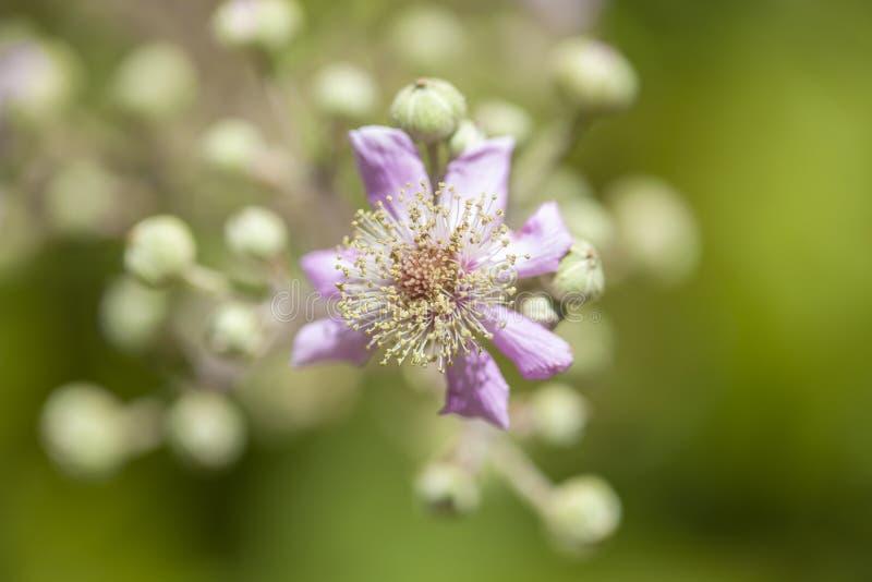 Flora de Gran Canaria - ulmifolius do Rubus fotografia de stock