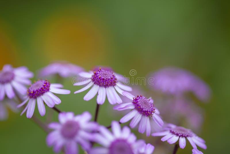 Flora de Gran Canaria - webbii do Pericallis imagens de stock