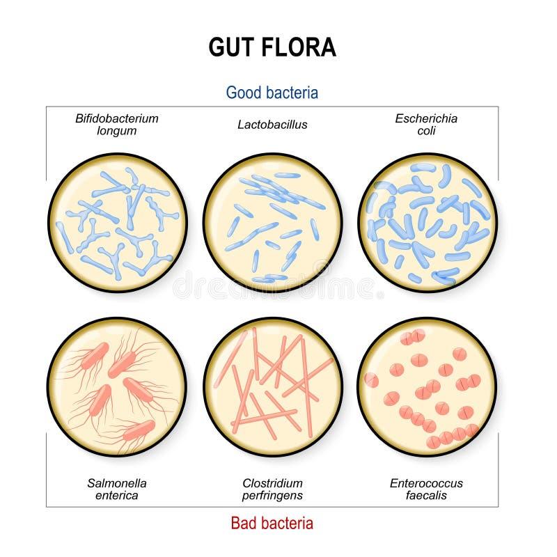 Flora de la tripa Malas bacterias: Clostridium, enterococo, salmonelas y buenas bacterias: Lactobacilo, Bifidobacterium, Escheric ilustración del vector