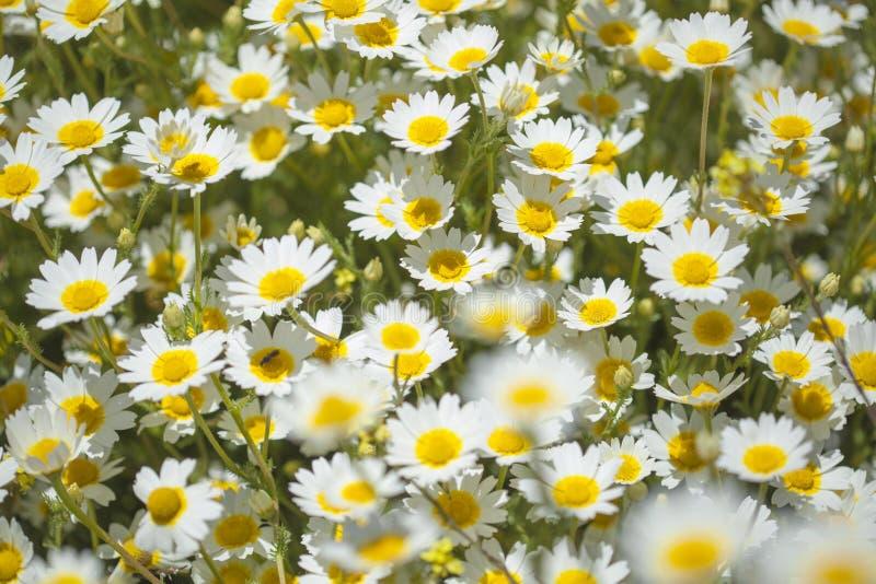 Flora de mamie Canaria - chrysanthème de guirlande image libre de droits