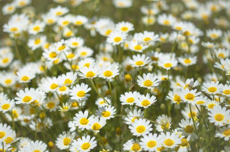 Flora de mamie Canaria - chrysanthème de guirlande image stock