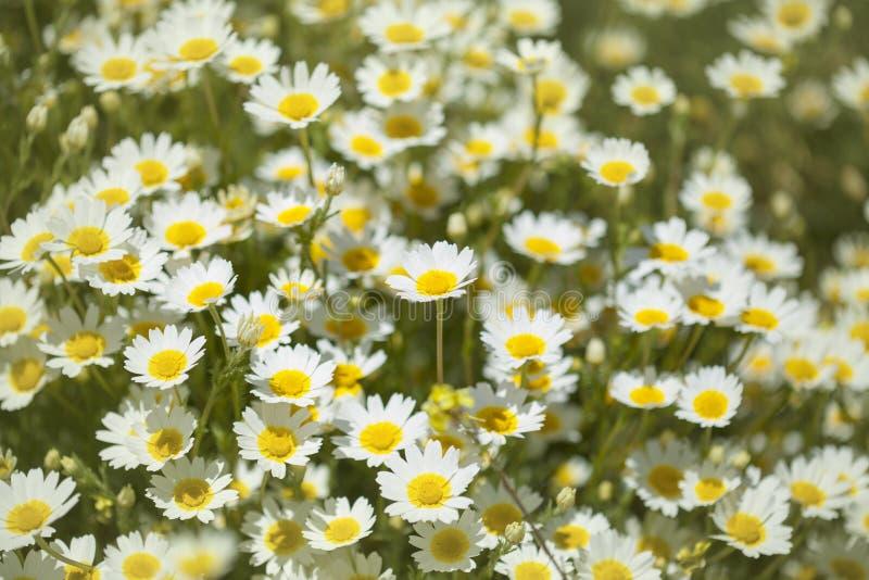 Flora de mamie Canaria - chrysanthème de guirlande images stock