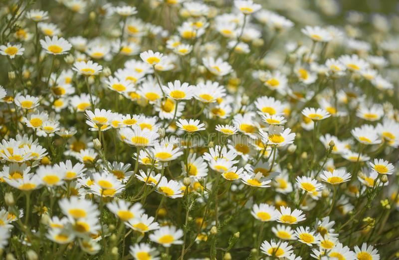 Flora de mamie Canaria - chrysanthème de guirlande photographie stock