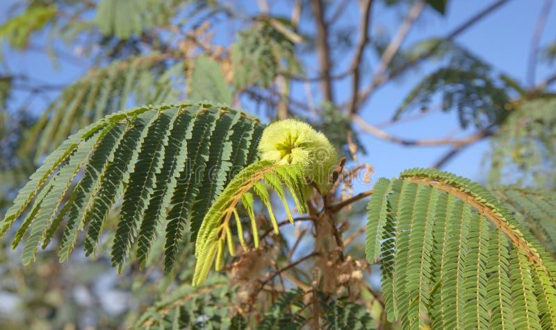 Flora di Gran Canaria - distachya dell'albizia fotografia stock