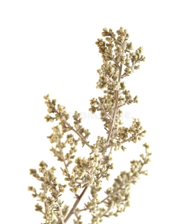 Flora di Gran Canaria - ramosa dell'artemisia immagini stock