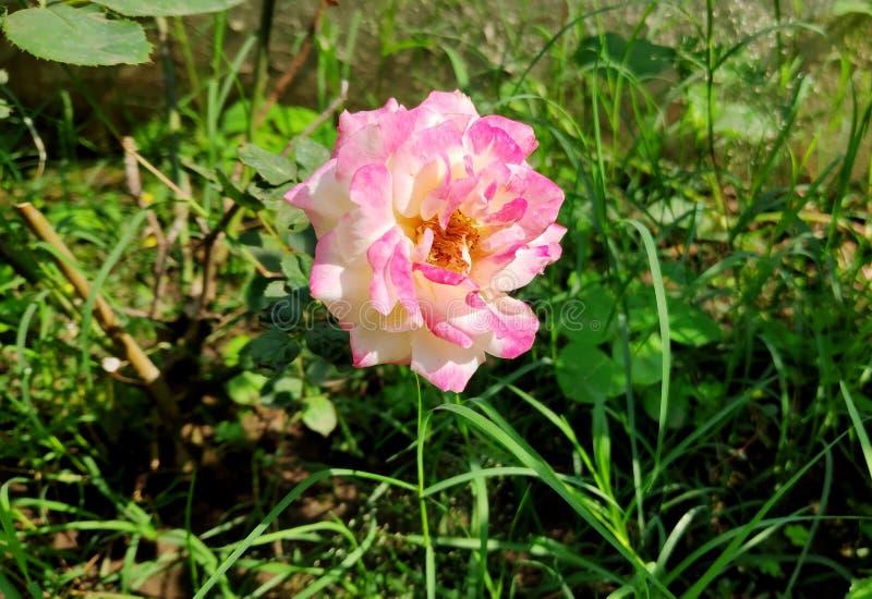 Flora di rose immagini stock