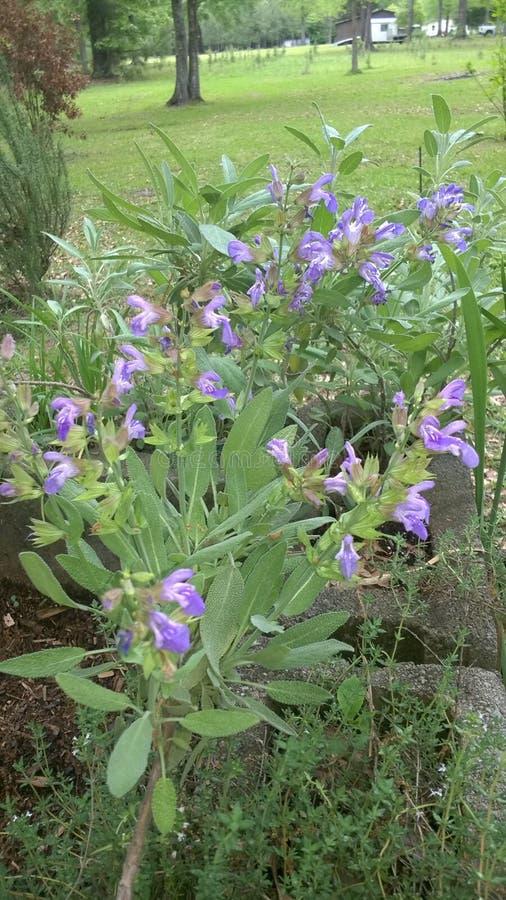 Flora en Texas Purple Sage del este 001 imagenes de archivo