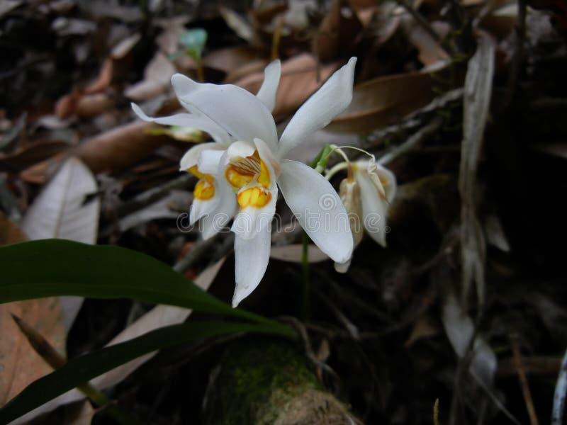 Flora f?r Coelogyne nitidaorkid?, sunakhari arkivfoton