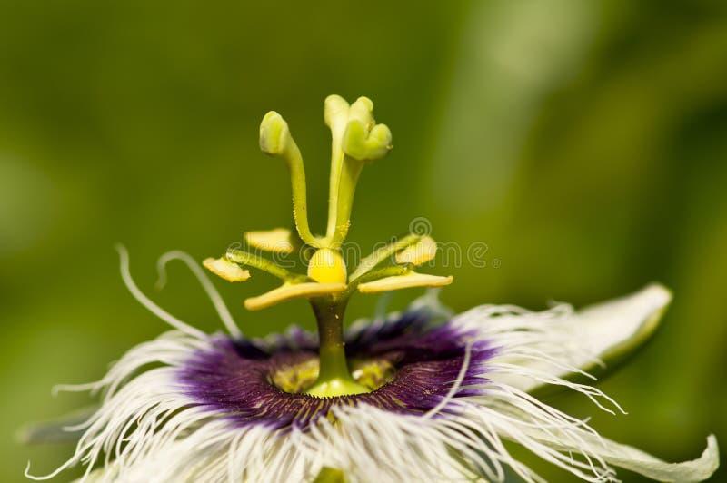 Flora (fiore di passione) immagini stock