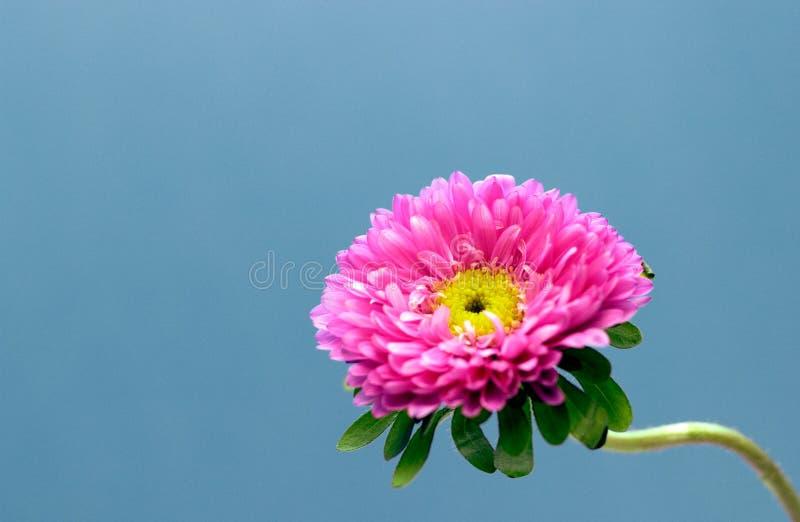 Flora - flor cor-de-rosa fotografia de stock royalty free