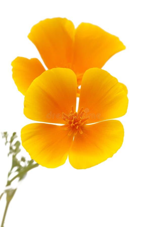Flora of Gran Canaria - California poppy stock image
