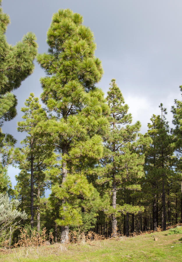 Flora of Gran Canaria - Canarian Pines royalty free stock photo