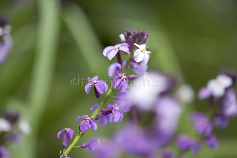 Flora of Gran Canaria -  Erysimum albescens. Endemic to the island royalty free stock images