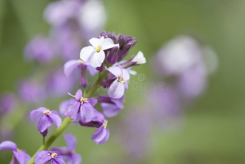 Flora of Gran Canaria -  Erysimum albescens. Endemic to the island stock photos