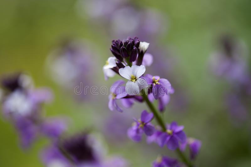 Flora of Gran Canaria -  Erysimum albescens. Endemic to the island royalty free stock photography