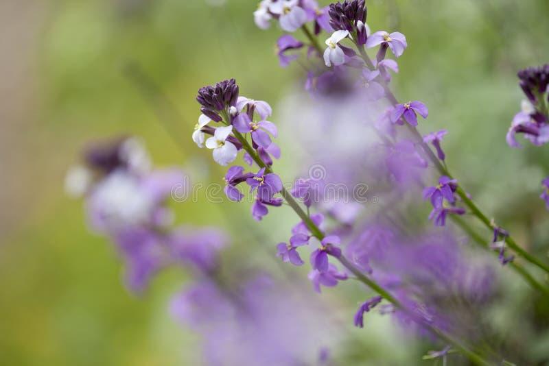 Flora of Gran Canaria -  Erysimum albescens. Endemic to the island stock photo