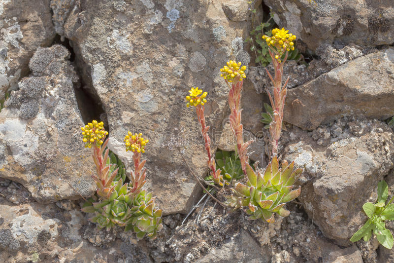 Flora of Gran Canaria, Flowering Aeonium simsii. Endemic to Gran Canaria stock photo