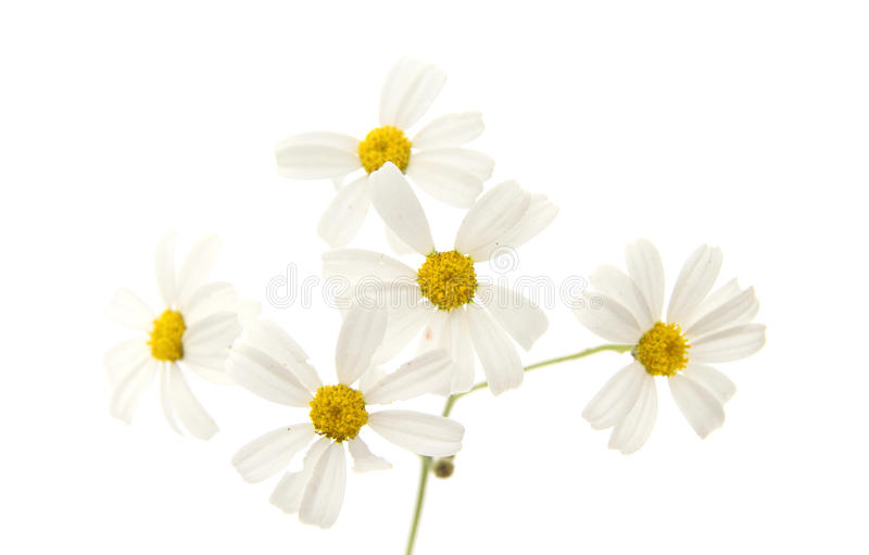 Flora of Gran Canaria -Tanacetum ptarmiciflorum. Flora of Gran Canaria - Tanacetum ptarmiciflorum, Silver Lace Bush or Silver Tansy isolated on white stock photos