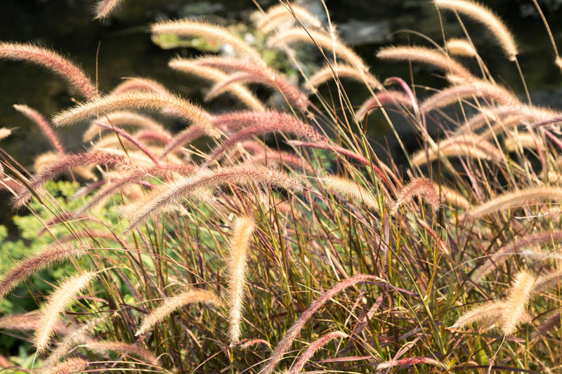 Flora grasses in the wind. The Grass Family is another of the Big Three plant families, along with the composites and orchids stock images