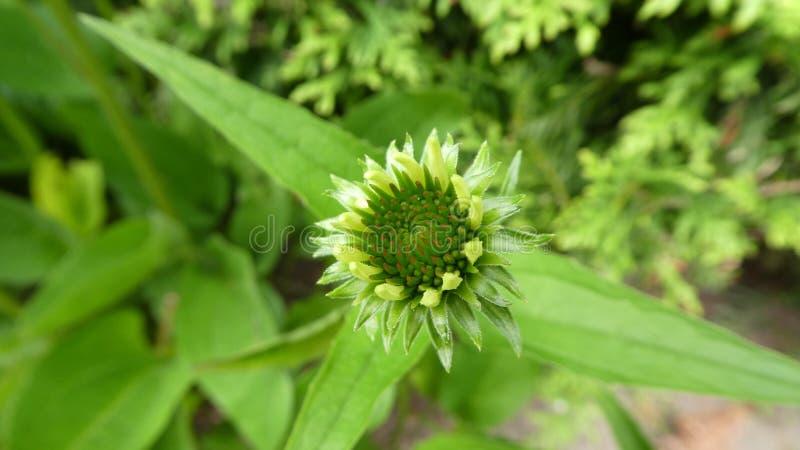 Flora, Installatie, Bloem, Coneflower royalty-vrije stock afbeelding