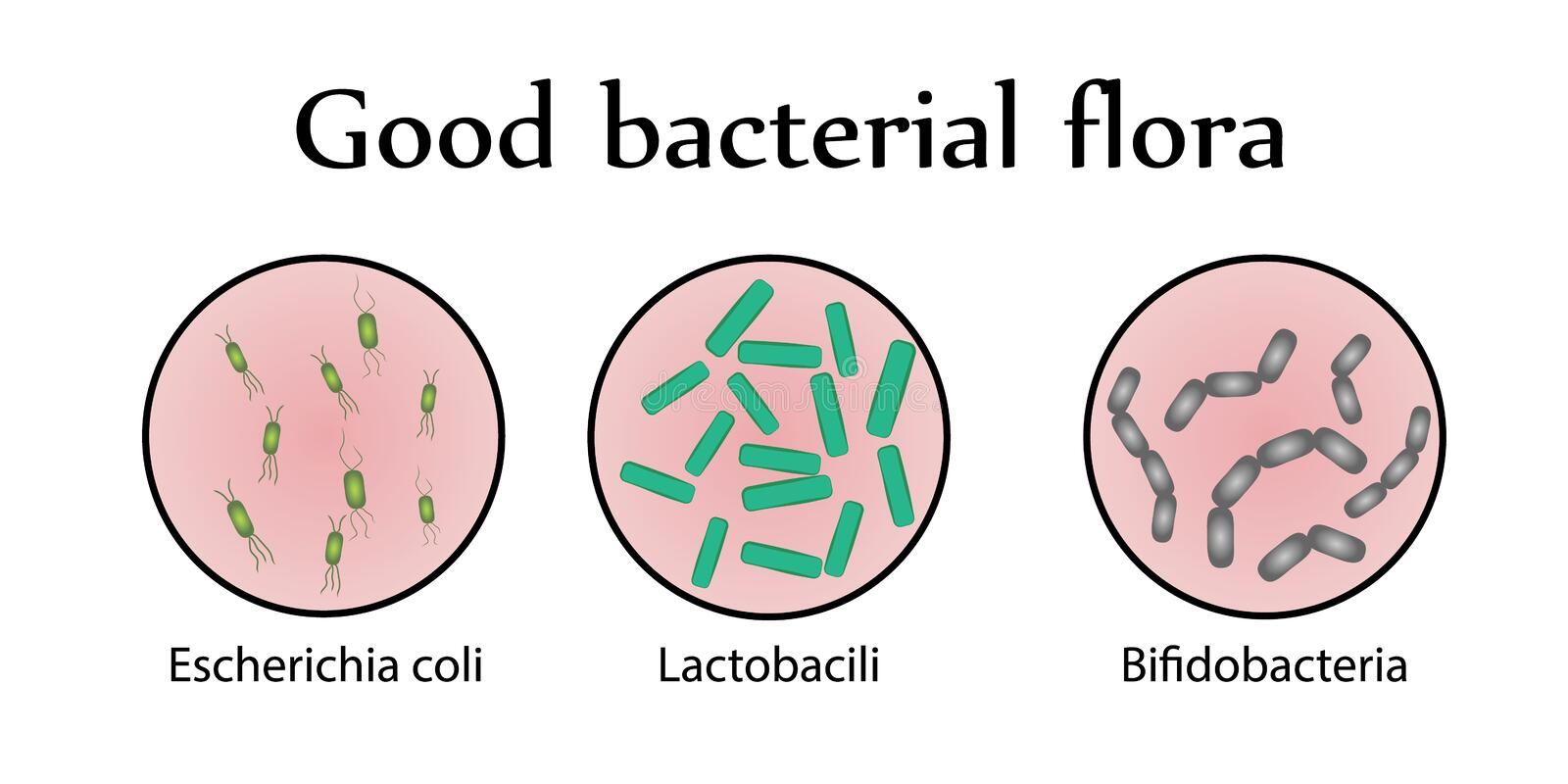 Flora intestinal de las bacterias Buena flora bacteriana Ilustración del vector libre illustration