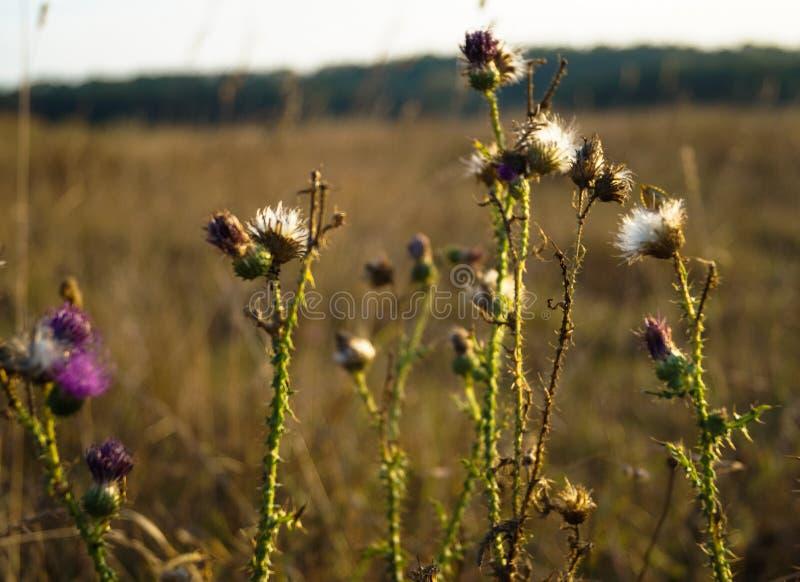 Flora koloru świrzep pole obraz stock