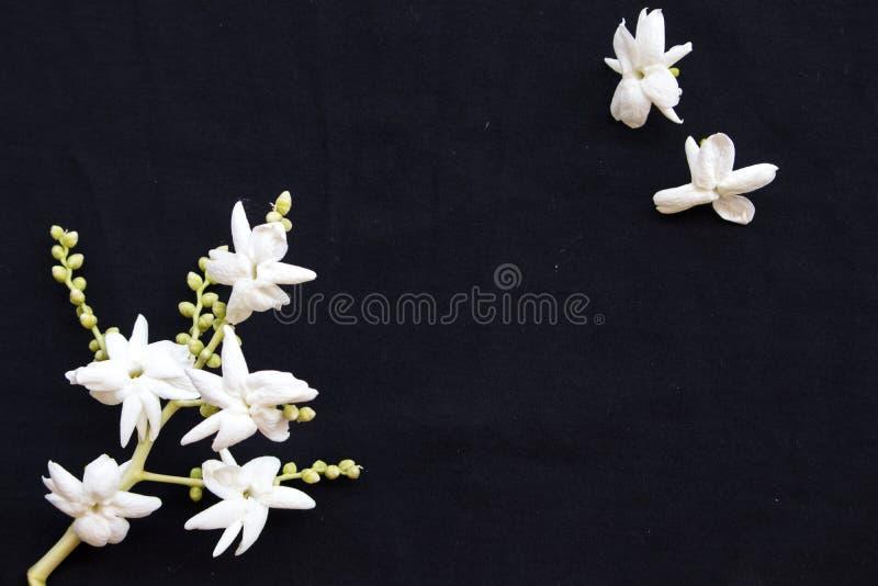 Flora local do jasmim das flores brancas de Ásia no preto fotos de stock