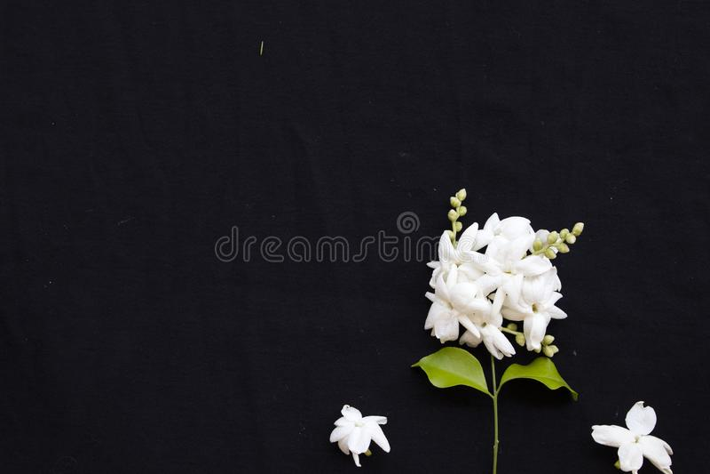Flora local do jasmim das flores brancas de Ásia no preto imagens de stock